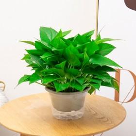 绿萝盆栽室内长藤垂吊花卉植物吊兰客厅吸甲醛