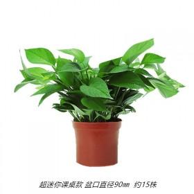 绿箩盆栽室内净化空气吸甲醛