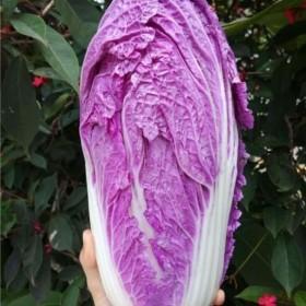 500粒紫色白菜种子