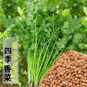 500粒香菜种子(送花种子)