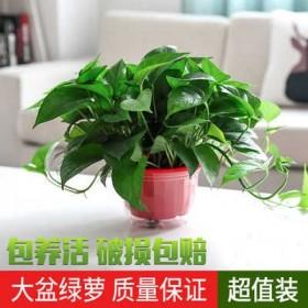绿萝盆栽室内吸除甲醛净化空气水培长藤大绿箩吊兰花卉