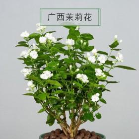 2颗 茉莉花盆栽 当年开花室内盆栽驱蚊盆栽