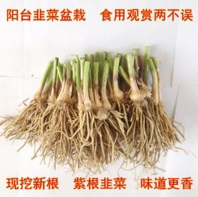 韭菜根现挖本地绿色蔬菜盆栽阳台种菜新四季红紫根种苗