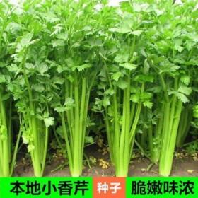 1000粒小芹菜种子