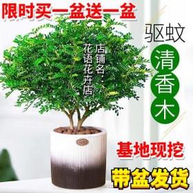 【买一送一】清香木驱蚊草办公室内吸甲醛净化空气绿植