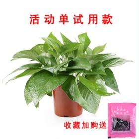绿萝盆栽室内吸甲醇净化空气高脚红盆绿箩水培植物大叶