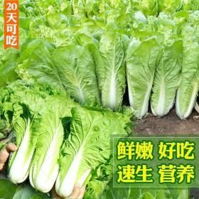 2000粒四季白菜种子20天可吃