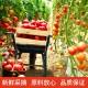 天然番茄粉500g纯果蔬粉食用冲饮烘培商用  2833537
