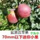新鲜现摘苹果5斤小果  2873367