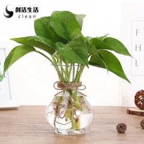 绿萝水土培苗盆栽