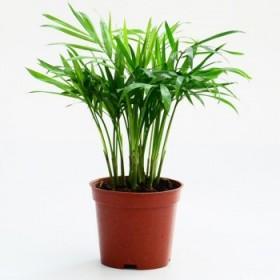 散尾葵凤尾竹袖珍椰字盆栽室内客厅花卉植物吸甲醛