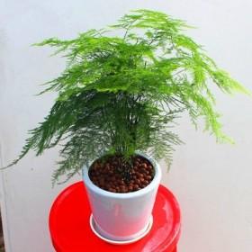 文竹小盆栽 植物 室内绿植净化空气吸甲醛 包邮
