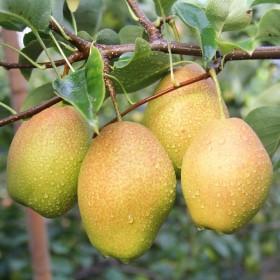 当季水果新鲜红香酥香梨子现摘香梨10斤薄皮一整箱梨