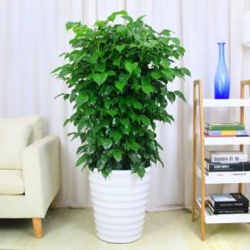 幸福树盆栽小绿宝室内客厅卧室办公桌大小型盆景绿植