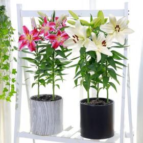 香水百合花种球室内外都可栽种