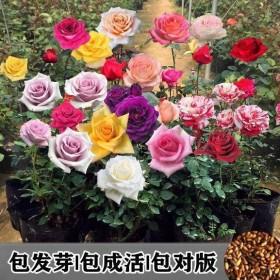 四季易活玫瑰种子