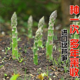芦笋种籽营养丰富芦笋苗重复采收芦笋种子新鲜芦笋种子