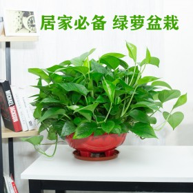 绿萝盆栽室内大盆绿箩客厅吸甲醛360短藤可养成长藤