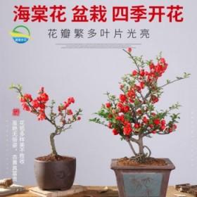 2颗装四季【精品蔷薇海棠花苗】