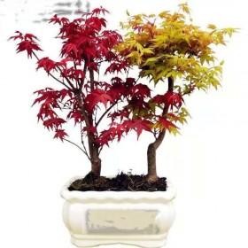 六年苗 耐寒红枫树苗盆景四季中国红枫叶室内外盆栽花
