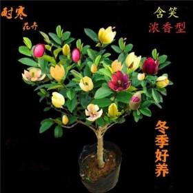 8年苗 含笑花苗浓香型花卉盆栽耐寒冬寒好养客厅办公