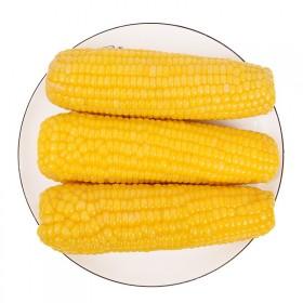 新鲜黄糯甜玉米2条真空包装