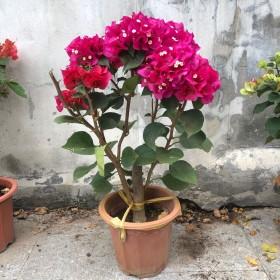 三角梅盆栽带花爬藤重瓣巴西三角梅苗红四季开花
