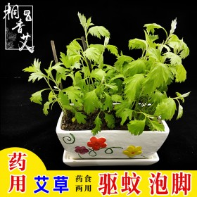 药食两用艾草艾叶种子根苗种植盆栽植物驱蚊泡脚