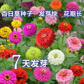 百日草花种子室外家庭园艺花卉四季开花