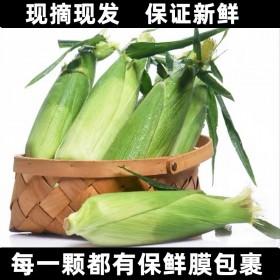 新鲜水果玉米整箱现摘生吃爆浆甜玉米棒子粒糯粘包谷米