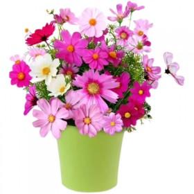 格桑花种子波斯菊花种籽子七彩花种