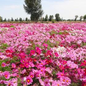 格桑花种子室外家庭园艺花卉四季开花波斯菊花种籽子