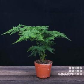 文竹盆栽室内客厅四季常青防辐射四季好养