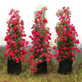 @甜蜜红木香花苗爬藤植物白黄木香四季开花浓香红色花