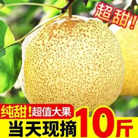 砀山酥梨10斤包邮百年梨树新鲜水果现摘梨子非皇冠梨