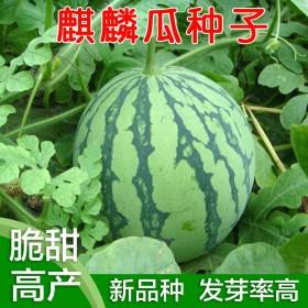西瓜种子早熟8424新品种