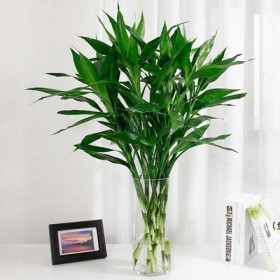 富贵竹水培植物观音竹盆栽
