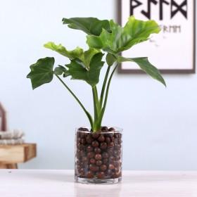 【推荐】水培植物室内绿植花卉客厅好养驱蚊植物水养办