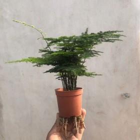 文竹盆栽室内客厅四季常青防辐射四季好养绿植