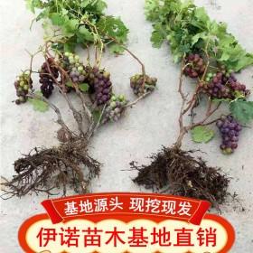 葡萄树苗蓝宝石葡萄苗葡萄南方北方种植盆栽地栽庭院爬