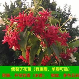 带花苞使君子花苗庭院阳台盆栽地栽当年开花重瓣单瓣五