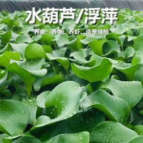 水葫芦小浮萍水生植物鱼缸金鱼乌龟水草造景净化水质水