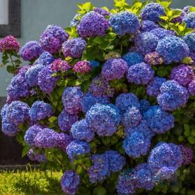 绣球花苗耐寒阳台庭院当年四季开花大花无尽夏八仙