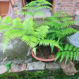 观音莲座蕨类植物盆栽马蹄蕨霸王蕨室内花卉大型绿植一