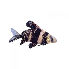 观赏鱼冷水鱼清道夫一帆风顺鱼活鱼缸清洁中大型工具