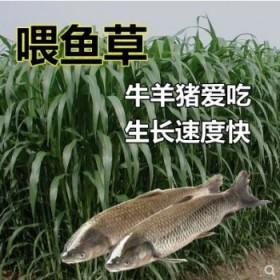 新型皇竹草种节养牛草甜象草养殖料种子四季种植牛羊牧