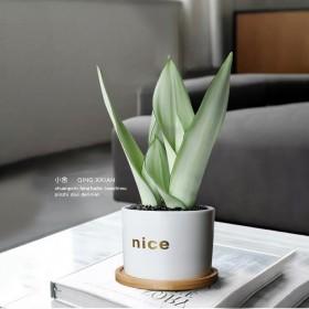 白玉虎皮兰盆栽绿植一盆好养植物