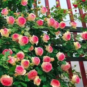 蔷薇花苗四季开花室内绿植物爬藤本月季玫瑰花苗庭院大