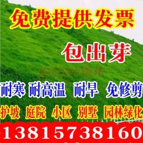 誉满园草坪种子四季长青免修剪马尼拉黑麦草庭院草皮草