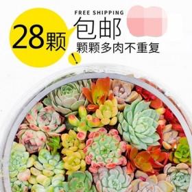 28颗多肉植物组合盆栽大颗肉肉